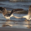Lesser Black-backed Gulls battle for an eel in the surf at Sargent Beach, Matagorda County, TX.  2015.08.29