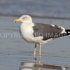 Lesser Black-backed Gull, 03.02.2012, Brazoria County