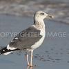 Lesser Black-backed Gull, 2012.12.02, Brazoria County, TX