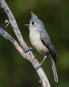 Tufted Titmouse, Wichita Mountains National Wildlife Refuge