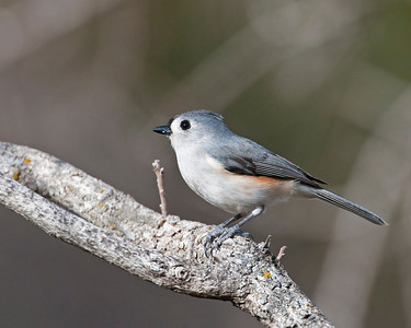 Tufted Titmouse, Wichita Mountains Wildlife Refuge, OK