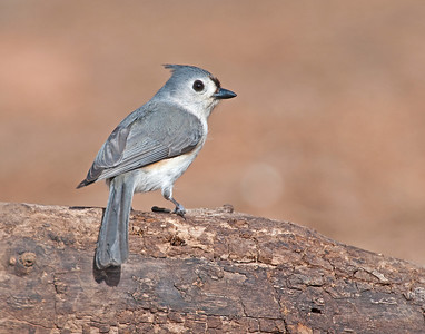 Tufted Titmouse, Wichita Mountains Wildlife Refuge