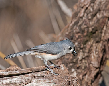 Tufted Titmouse, Wichita Mountains National Wildlife Refuge, OK