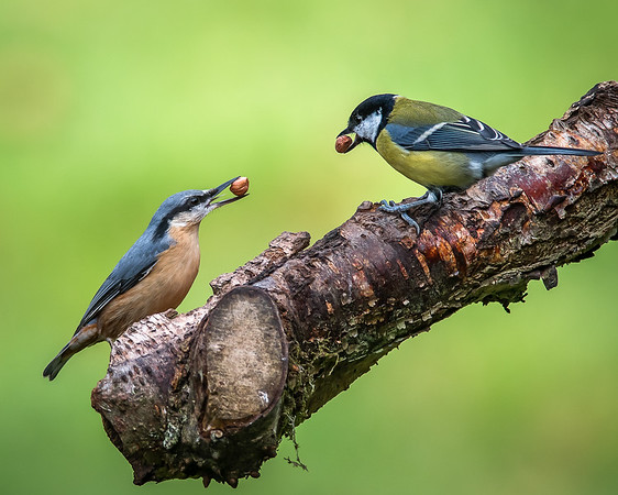 Nuthatch and Chaffinch