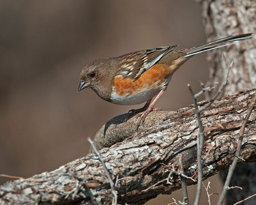 Spotted Towhee, Wichita Mountains Wildlife Refuge, OK