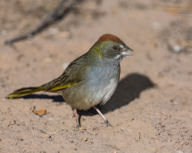 Green Towhee, Bosque Del Apache National Wildlife Refuge, NM