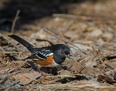 Spotted Towhee (male), Bosque Del Apache National Wildlife Refuge, NM