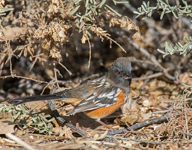 Spotted Towhee (female), Bosque Del Apache National Wildlife Refuge, NM