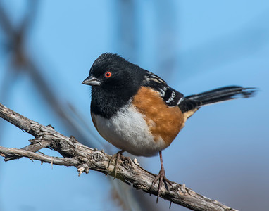 Spotted Towhee, Wichita Mountains National Wildlife Refuge