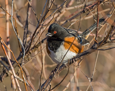 Spotted Towhee, Wichita Mountains National Wildlife Refuge, OK