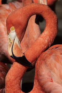 Greater Flamingo.  San Diego Zoo, San Diego, California.