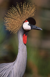 East African crowned crane.  Wild Animal Park, San Pasqual, California.