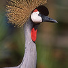 East African crowned crane.  Wild Animal Park, San Pasqual, California.