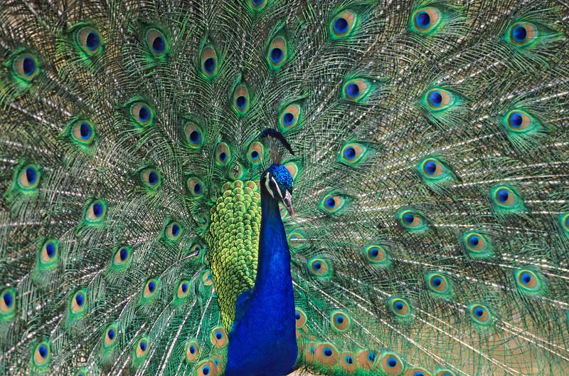 Peacock.  San Diego Zoo, San Diego, California.