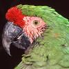 Parrot.  Wild Animal Park, San Pasqual, California.