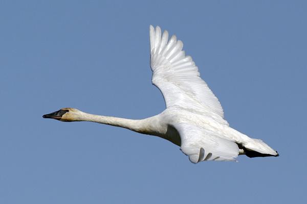 6358 Trumpeter Swan flying