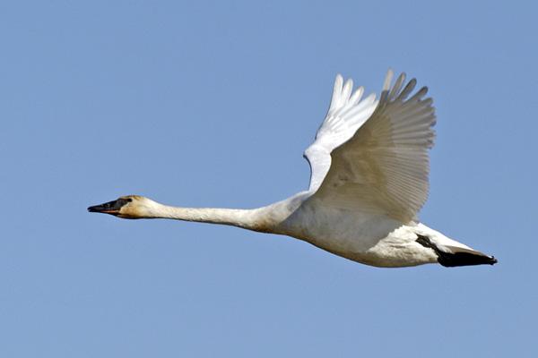 6356 Trumpeter swan flying