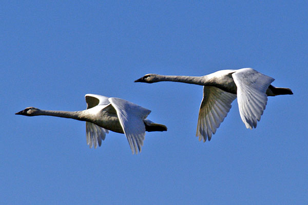 6297 Trumpeter Swans