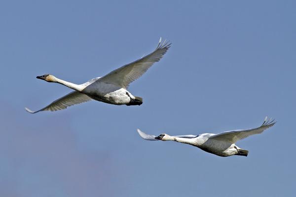 6351 Trumpeter Swan
