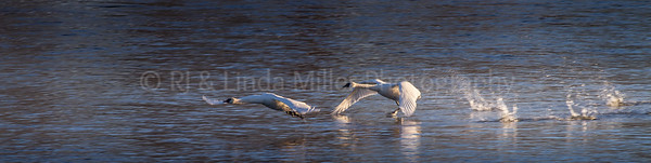 Trumpeter Swans near Monticello, MN, Mississippi River
