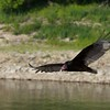 Turkey Vultures at Lake Coralville