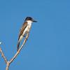 Loggerhead Kingbird, Tyrannus caudifasciatus
