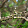 Black-whiskered Vireo, Vireo altiloquus