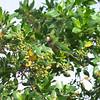 Olive-throated Parakeet, Eupsittula nana