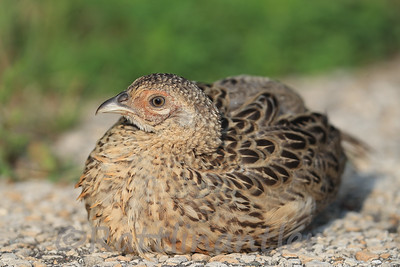 Ring-Necked Pheasant Poult