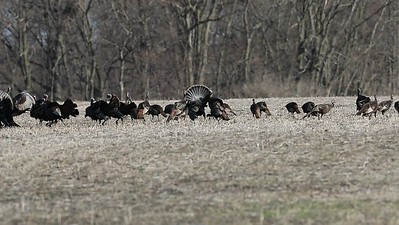 Wild Turkeys on Video