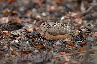 American Woodcock