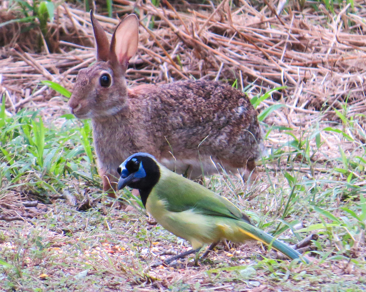 Green Jay with Hare