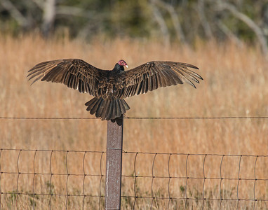 Turkey Vulture, Wichita Mountains Wildlife Refuge, OK