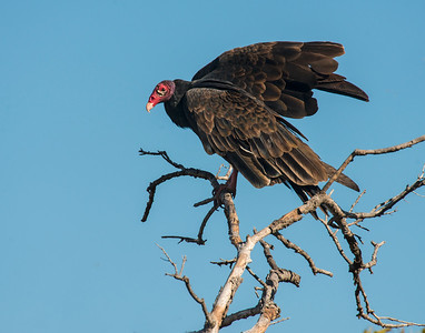 Turkey Vulture, Hackberry Flats Wildlife Management Area, OK