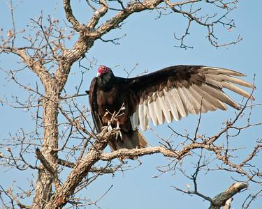 Turkey Vulture, Wichita Mountains Wildlife Refuge, OK