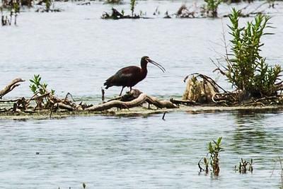 Waders - Herons, Egrets, Ibises