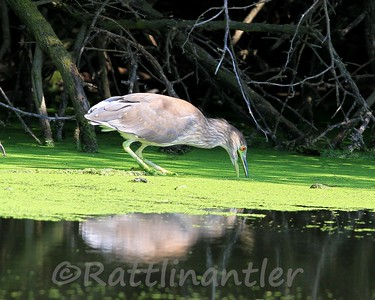 Black-Crowned Night-Heron