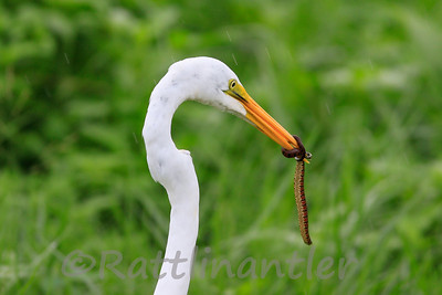 Great Egret with Florida Banded Watersnake