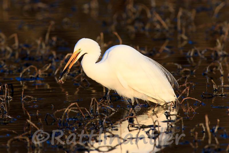 Great Egret with Bullhead