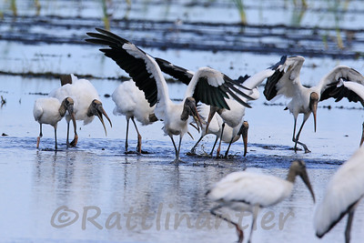 Wood Storks eating a Talipia
