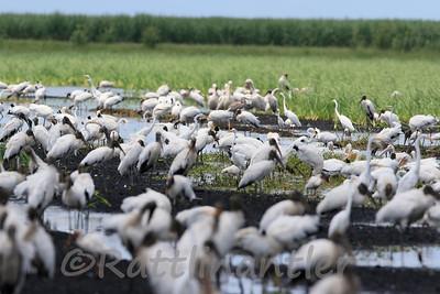 Wood Storks & Egrets