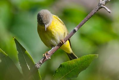 Nashvelle Warbler