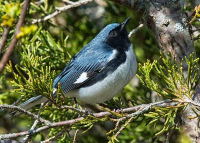 Black-throated Blue