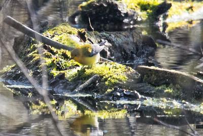 Prothonotory Warbler