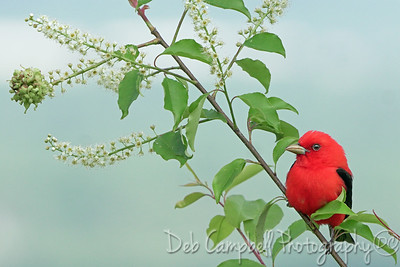 Scarlet Tanager in Wild Cherry Tree