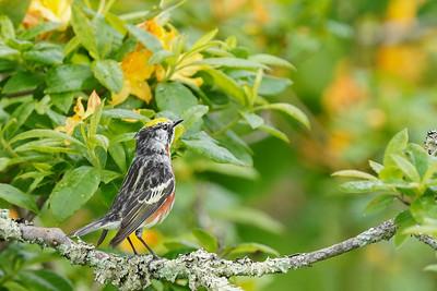 Chestnut-sided Warbler on Flame Azalea