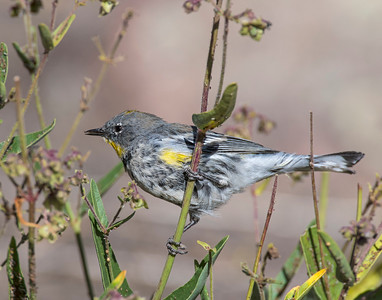 Yellow-rumped Warbler, Rocky Mountain National Park, CO