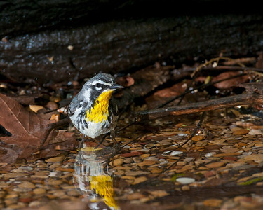 Yellow Throated Warbler (Male), High Island, TX