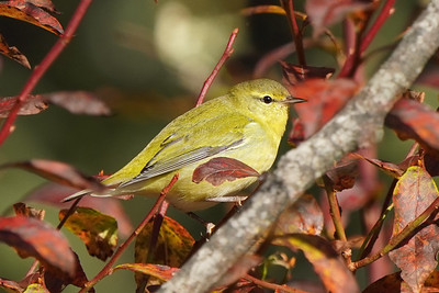 Tennessee Warbler (Fall Migrant)