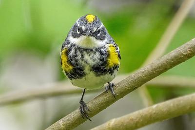 Myrtle Warbler
